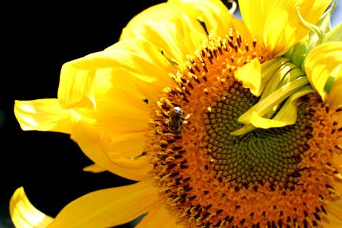 Sunflower from Emily's garden