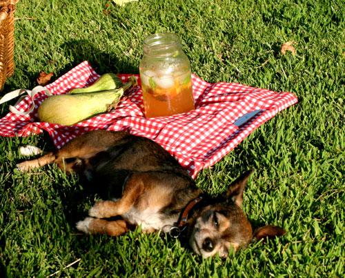 Frito the dog at the picnic