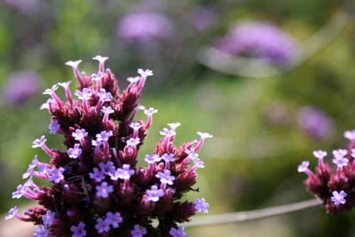 Descanso Gardens Purple Blooms