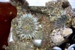Sea anemones at the Headlands