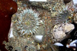 Sea anemones at the Headlands