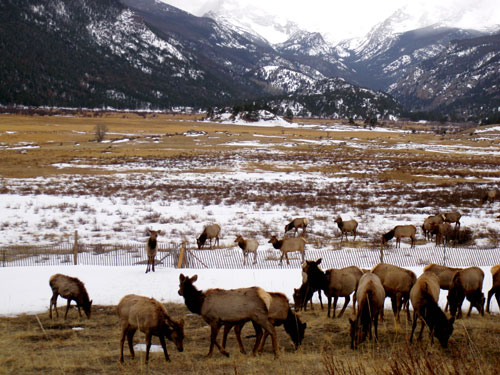 Elk- Rocky Mtn National Park