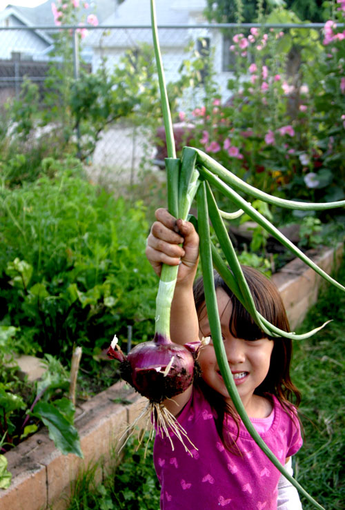 Child holding a freshly picked red onion