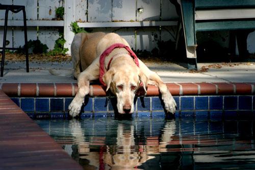 Jack the dog drinking out of the pool