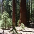 Redwoods in Kings Canyon National Park