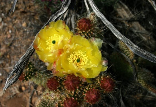 red-rock-cactus-bloom