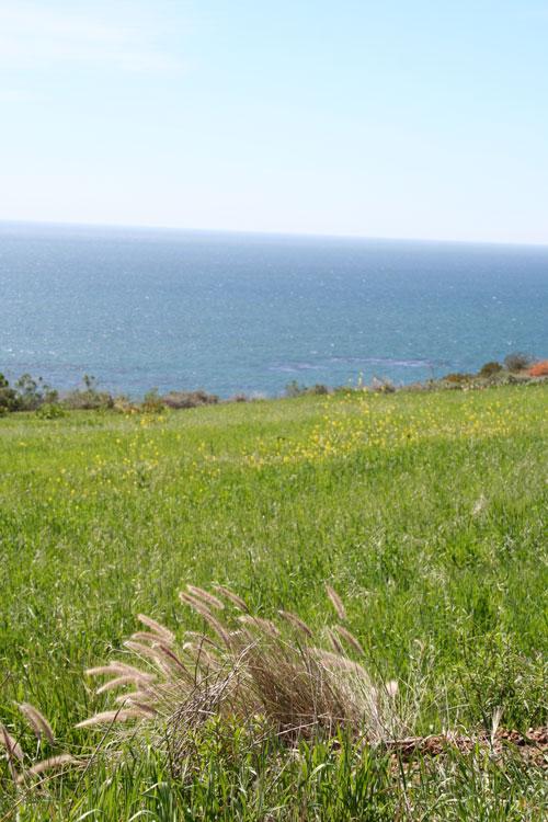 sycamore-pacific-coast-highway