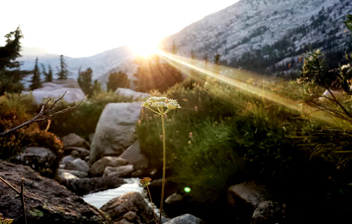 sunbeam-flower