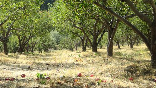 oak-glen-apple-orchard
