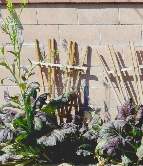 mustard-plants